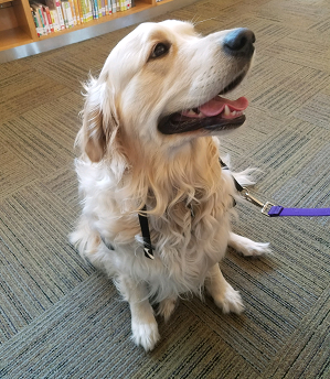 Teeba the therapy dog sitting in the library